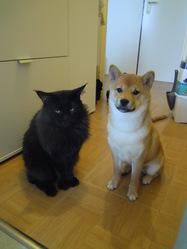 Jana, chien Shiba Inu