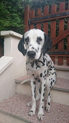 Jana, chien Dalmatien