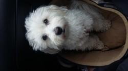 Janna, chien Coton de Tuléar