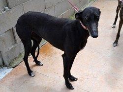 Jana, chien Lévrier espagnol