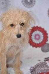 Janasse, chien Bichon maltais