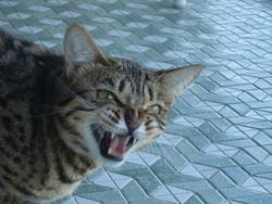 Jane, chat Gouttière