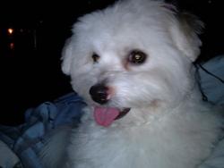 Jane, chien Coton de Tuléar