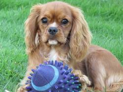 Jane, chien Cavalier King Charles Spaniel