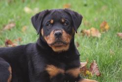 Janga Du Domaine De La Rêverie, chien Rottweiler