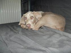 Jango, chien Braque de Weimar