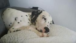 Jango, chien Dalmatien