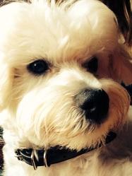 Jango, chien Bichon maltais