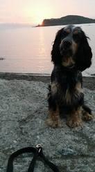 Jango, chien Cocker anglais