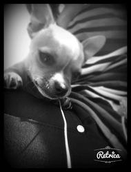 Jango, chien Chihuahua