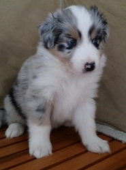 Jango, chien Berger australien