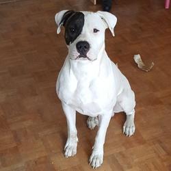 Jango, chien Dogue argentin