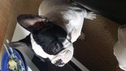Jango, chien Bouledogue français