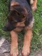 Jango, chien Berger allemand