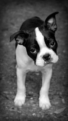 Jango, chien Terrier de Boston