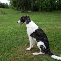 Jango, chien Barzoï