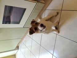 Jango, chien Jack Russell Terrier