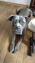 Jango, chien Cane Corso