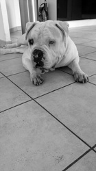 Jango, chien Bulldog