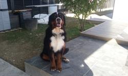 Jango, chien Bouvier bernois