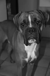Jango, chien Boxer