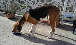 Janie, chien Anglo-Français de petite vénerie