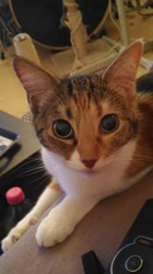 Janis, chat Européen