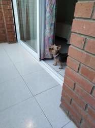 Janis, chien Yorkshire Terrier