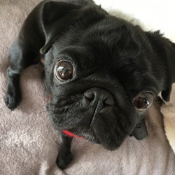 Janis, chien Carlin