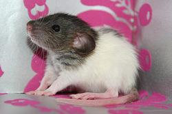 Mad Janis Joplin, rongeur Rat