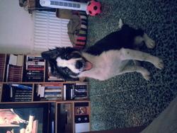 Janka, chien Border Collie