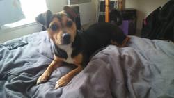 Janna, chien Jack Russell Terrier