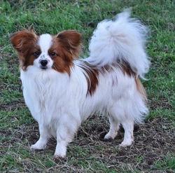 Janosh Des Jolis Morphos D'Eugénie, chien Épagneul nain continental