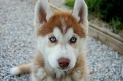 Janouk, chien Husky sibérien