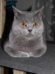 Japon Du Printonier, chat Chartreux