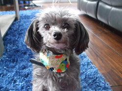 Jappy, chien Caniche