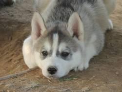 Japs , chien Husky sibérien