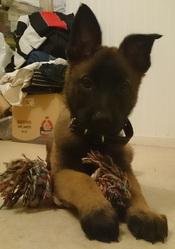 Jarhead, chien Berger belge