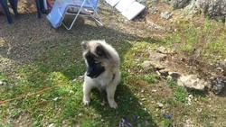 Jario, chien Eurasier