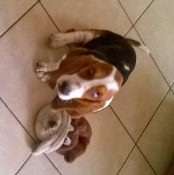 Jarjar, chien Basset Hound