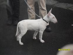 An'Gharad'S Bull Jarla Llygad Gweld, chien Bull Terrier