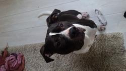 Jarod, chien American Staffordshire Terrier