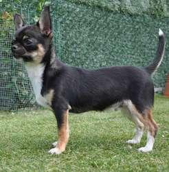 Jarod, chien Chihuahua