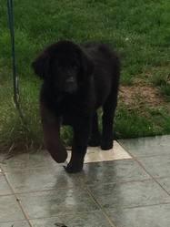 Jarod, chien Terre-Neuve