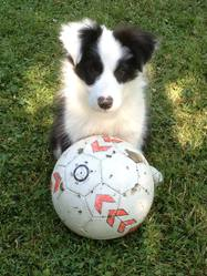 Jarow, chien Border Collie