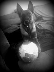 Jarrod, chien Berger belge