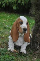 Jarrow , chien Basset Hound