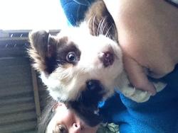 Jarvis, chien Berger australien