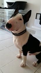 Jasco, chien Bull Terrier