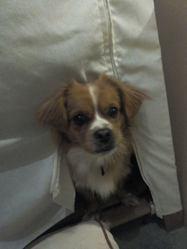 Jasko, chien Épagneul tibétain